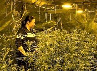 Piantagione Marijuana in Olanda
